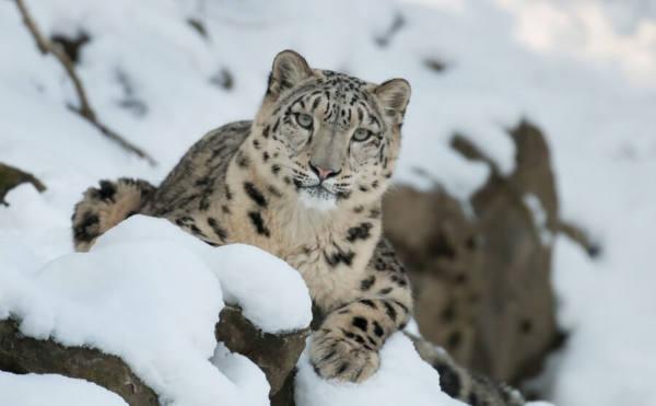 Ejemplo inteligencia artificia captura camara de recuento de snow leopard trust